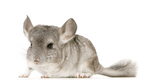 chinchilla Arkivbilder