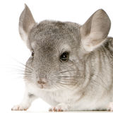 Chinchilla Stock Afbeeldingen