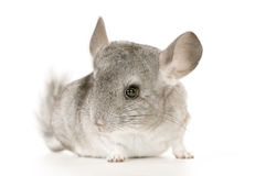 Chinchilla. Young Chinchilla in front of white background Royalty Free Stock Photography