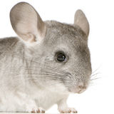Chinchilla Stock Foto