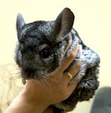 Chinchilla Royalty Free Stock Image