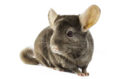 Chinchilla Stock Photography