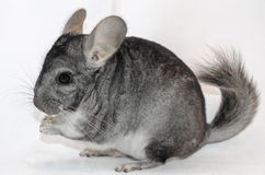 Chinchilla Stockfotografie