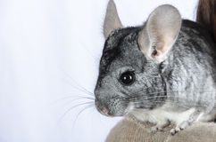 Chinchilla Lizenzfreie Stockfotos
