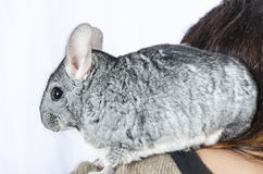 Chinchilla Stockbild