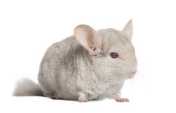 Chinchilla (4 years old) Royalty Free Stock Images