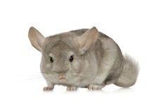 Chinchilla. Young Chinchilla in front of white background Stock Image