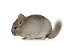 Chinchilla. Young Chinchilla in front of white background Stock Photo