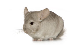 Chinchilla. Young Chinchilla in front of white background Royalty Free Stock Photo