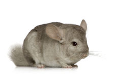 Chinchilla. Young Chinchilla in front of white background Royalty Free Stock Image
