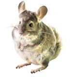 chinchilla Arkivfoto
