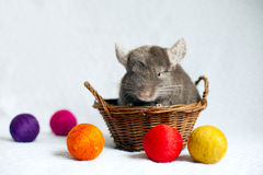 chinchilla Royalty-vrije Stock Foto