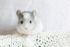 chinchilla Fotos de archivo