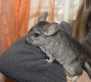 chinchilla Royalty-vrije Stock Fotografie