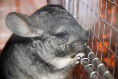 chinchilla Royalty-vrije Stock Foto