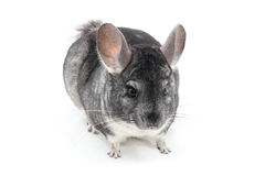 Chinchilla. A lovely chinchilla isolated on white background Royalty Free Stock Photos