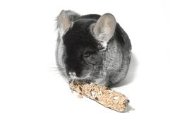 Chinchilla. On the table Royalty Free Stock Photo