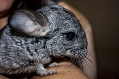 chinchilla Photos stock