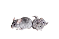 Chinchilla with babies on white Royalty Free Stock Image