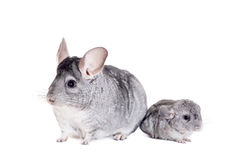 Chinchilla with babies on white Stock Image