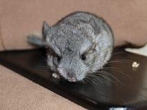 Chinchilla, baby sitting Royalty Free Stock Photo