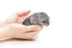 Chinchilla baby sitting on hands Stock Images