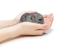 Chinchilla baby sitting on hands Stock Image