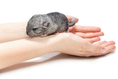 Chinchilla baby sitting on hands Royalty Free Stock Image