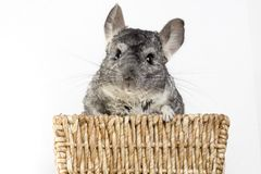 Chinchilla in a basket Stock Images