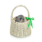 Chinchilla in basket Royalty Free Stock Images