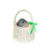 Chinchilla in basket Stock Photos