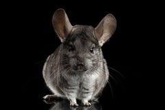 Chinchilla on Black background. Close-up Gray Chinchilla on Isolated Black background Stock Images