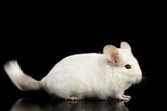 Chinchilla on Black background Royalty Free Stock Images