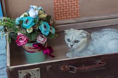 Chinchilla breed cat inside vintage suitcase Stock Image