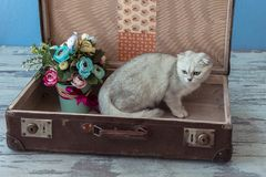 Chinchilla breed cat inside vintage suitcase Royalty Free Stock Images