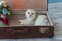 Chinchilla breed cat inside vintage suitcase Stock Photos