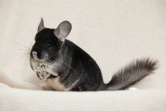 Chinchilla on bright background Royalty Free Stock Photography