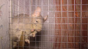 Chinchilla in the cage. Close-up view of chinchilla in the cage stock footage