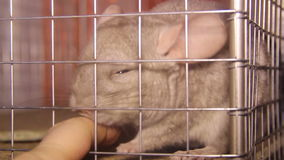 Chinchilla in the cage. Close-up view of chinchilla and human finger stock footage