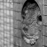 Chinchilla in a cage Royalty Free Stock Image