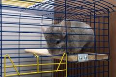 Chinchilla in cage Stock Photo