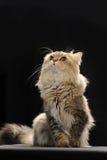 Chinchilla cat Royalty Free Stock Photo