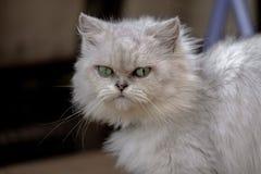 Chinchilla Cat Looking To Cameraman Royalty-vrije Stock Foto