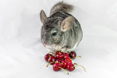 Chinchilla and cherries Stock Photos