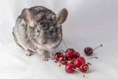 Chinchilla with cherries Stock Photos