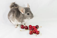 Chinchilla with red cherries Royalty Free Stock Images