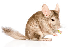 Chinchilla chews food. isolated on white background.  Royalty Free Stock Photography