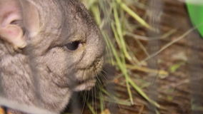 Chinchilla stock footage