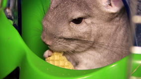 Chinchilla stock video