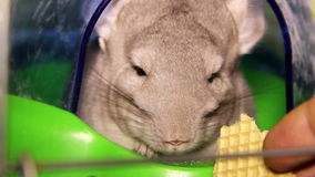 Chinchilla stock video footage